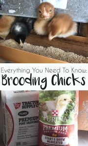 How to Brood Chicks