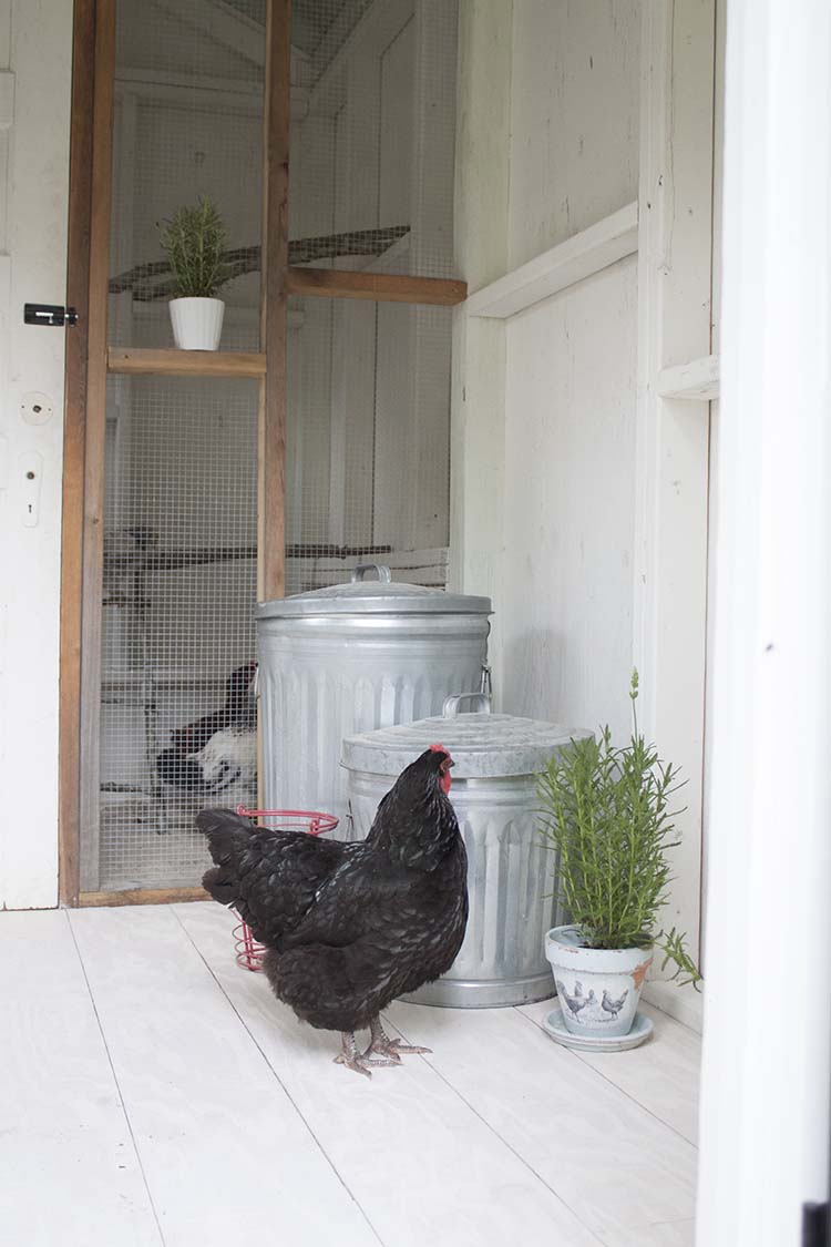 mature hen in coop