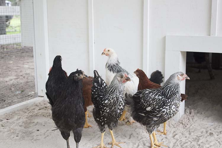pullets in coop run