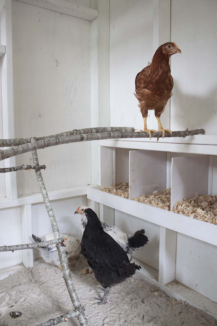 chickens roosting in new coop