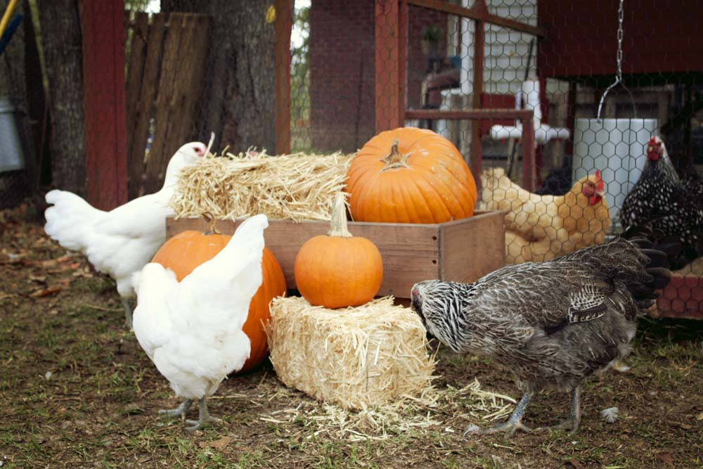 chickens and pumpkins fall